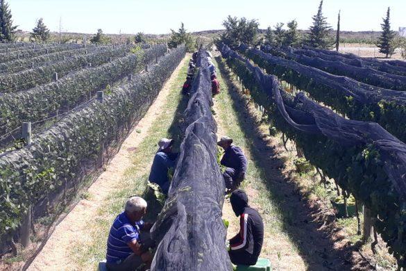 Cosecha récord de uva en Villa Casa de Piedra